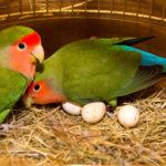 コザクラインコの卵の育て方と温度について
